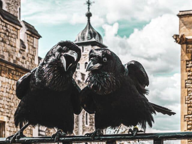 Halloween en Londres: los cuervos de la torre de Londres