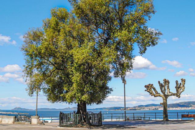 El mirador del olivo de Vigo